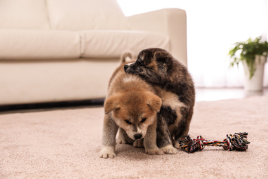 Cute Akita inu puppies with toy indoors. Friendly dogs