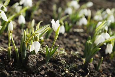 Beautiful snowdrops growing outdoors. Early spring flowers