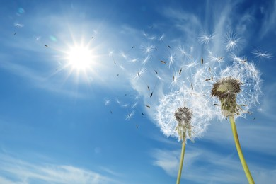 Beautiful puffy dandelions and flying seeds against blue sky on sunny day