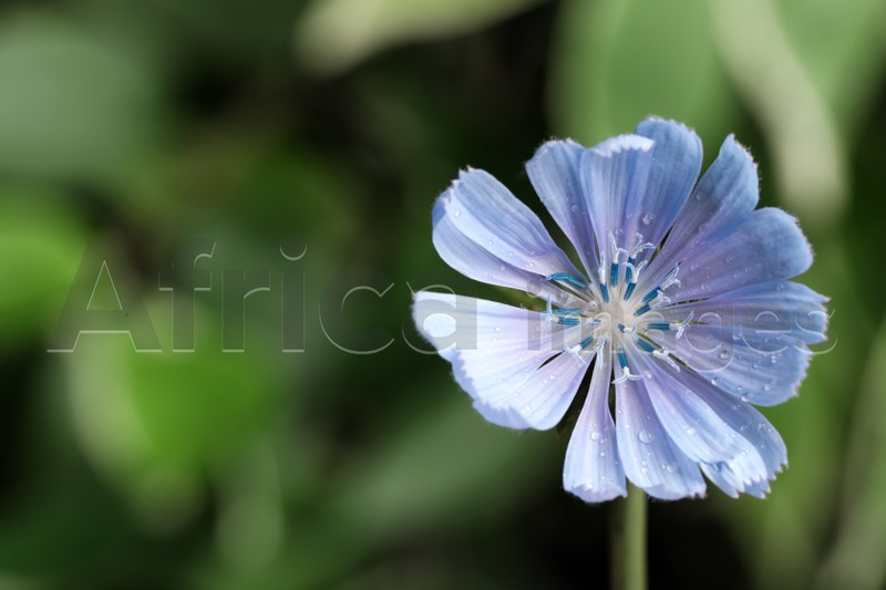 Beautiful blooming chicory flower growing outdoors, closeup. Space for text