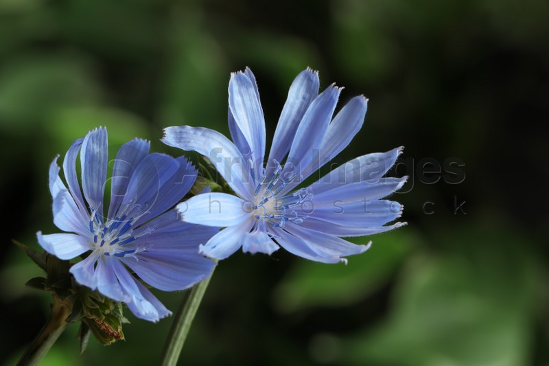 Beautiful blooming chicory flowers growing outdoors, closeup