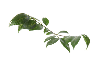 Branch of elm tree with young fresh green leaves isolated on white. Spring season
