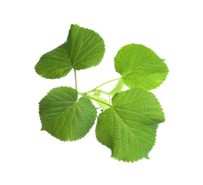Branch of linden tree with young fresh green leaves isolated on white. Spring season