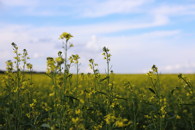 Closeup view of blooming rapeseed field. Agriculture industry