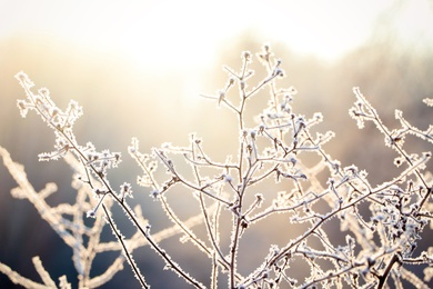 Dry plant covered with hoarfrost outdoors on winter morning