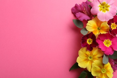 Primrose Primula Vulgaris flowers on pink background, top view with space for text. Spring season