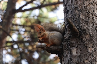 Cute red squirrel eating nut on tree in forest