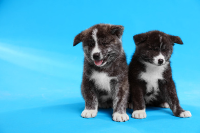 Cute Akita inu puppies on light blue background. Friendly dogs