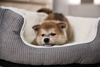 Adorable Akita Inu puppy in dog bed indoors