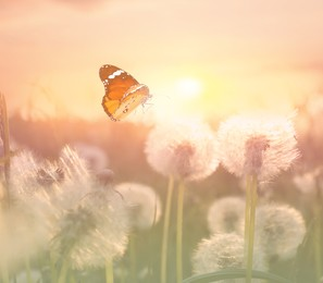 Beautiful butterfly and delicate fluffy dandelions in field at sunset