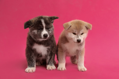 Cute Akita inu puppies on pink background. Friendly dogs