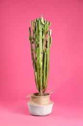 Beautiful cactus on pink background. Tropical plant