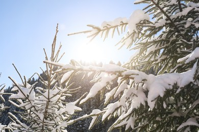 Coniferous tree branches covered with snow outdoors on winter day