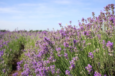 Beautiful blooming lavender field on summer day