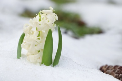 Beautiful white blooming hyacinth growing through snow outdoors, space for text. First spring flower