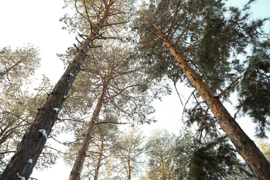Beautiful view on sky through coniferous tree branches