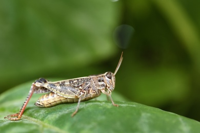 Common grasshopper on green leaf outdoors. Wild insect