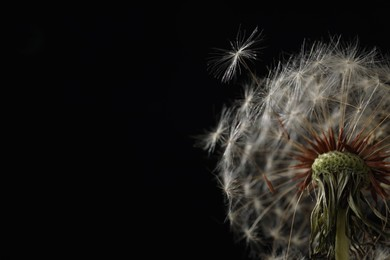 Beautiful dandelion flower on black background, closeup. Space for text