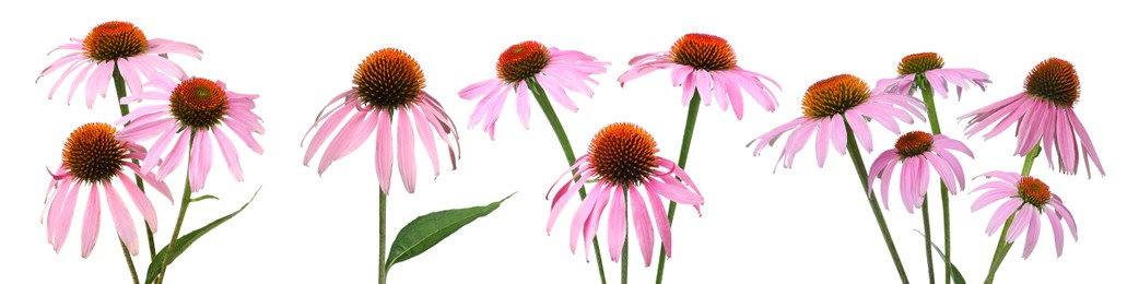Set with beautiful echinacea flowers on white background. Banner design
