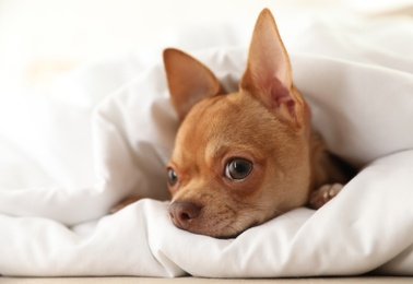 Cute Chihuahua dog wrapped in blanket at home, closeup