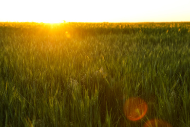 Beautiful field with unripe spikes at sunset