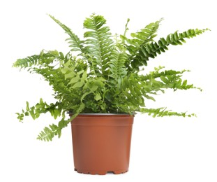 Beautiful fern in pot isolated on white