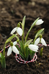 Beautiful snowdrops with thread outdoors. Early spring flowers
