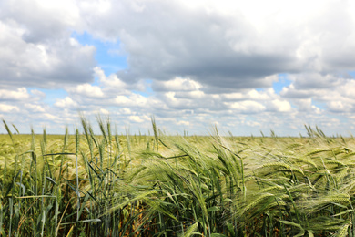Agricultural field with ripening cereal crop on cloudy day