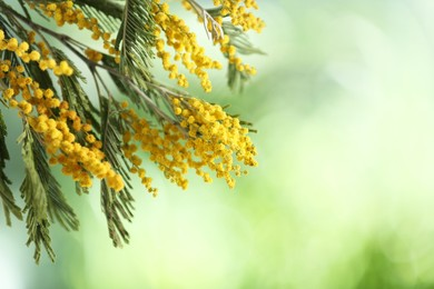Beautiful bright mimosa flowers on blurred background, closeup. Space for text