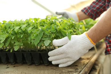 Man taking seedling tray with young tomato plants from table, closeup