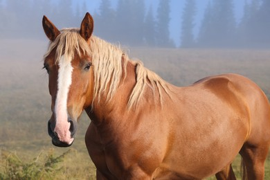Brown horse outdoors in misty morning. Lovely domesticated pet