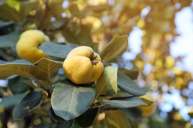 Quince tree branch with fruits outdoors, closeup. Space for text