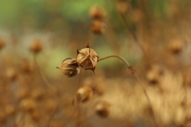 Beautiful dry flax plants against blurred background, closeup