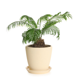 Pot with Sago plant isolated on white. Home decor