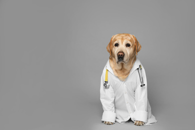 Cute Labrador dog in uniform with stethoscope as veterinarian on grey background. Space for text