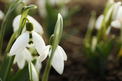 Beautiful snowdrops outdoors, closeup with space for text. Early spring flowers
