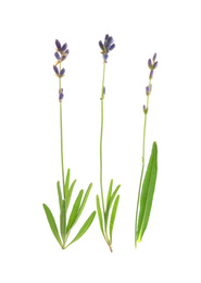 Beautiful fresh lavender flowers isolated on white