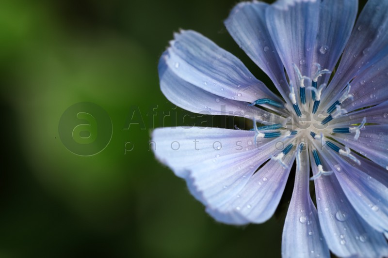 Beautiful blooming chicory flower growing on blurred background, closeup. Space for text