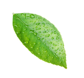 Fresh green citrus leaf with water drops isolated on white