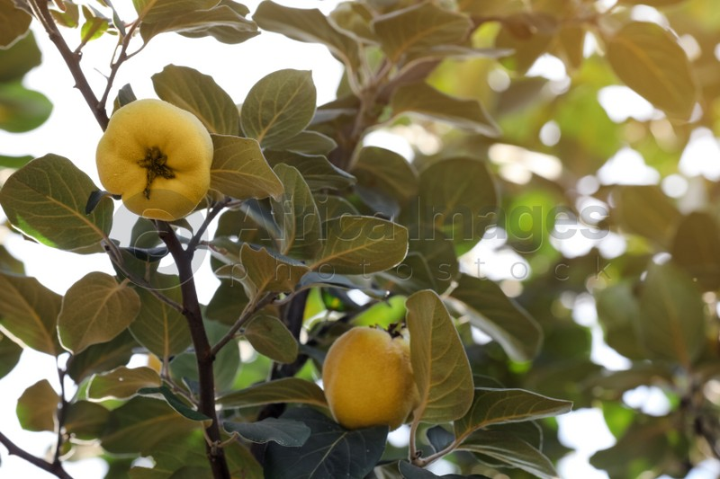 Closeup view of quince tree with ripening fruits outdoors