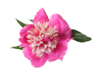 Beautiful pink peony flower isolated on white