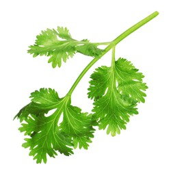 Fresh green coriander leaves isolated on white