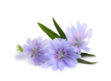 Beautiful chicory flowers with green leaves on white background