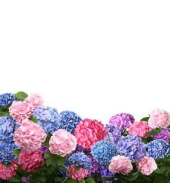 Many different beautiful hortensia flowers on white background