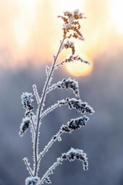 Dry plant covered with hoarfrost outdoors on winter morning, closeup