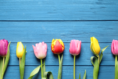 Beautiful spring tulips on blue wooden table, flat lay. Space for text