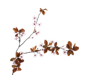 Branch of plum tree with beautiful blossom isolated on white. Spring season