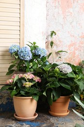 Beautiful blooming hortensia plants in pots outdoors. Space for text