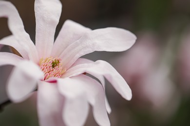 Beautiful blooming flower of magnolia tree on blurred background, closeup