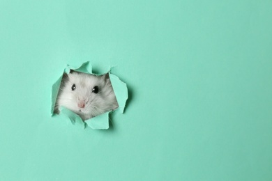 Cute funny pearl hamster looking out of hole in turquoise paper, space for text